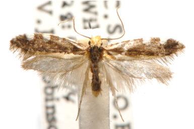 Ptyssoptera tetropa