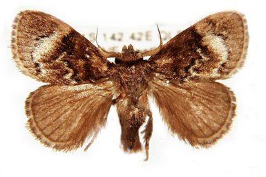 Pygmaeomorpha aquila