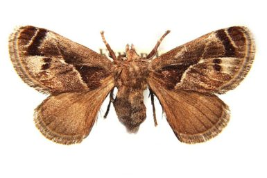 Pygmaeomorpha modesta