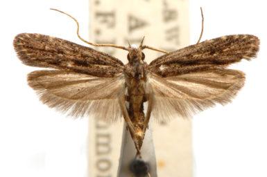Sarisophora brachymita