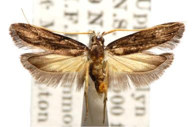 Sarisophora chlaenota
