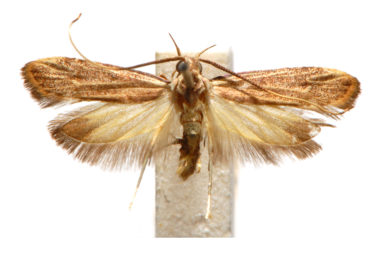 Sarisophora leptoglypta