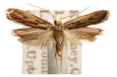 Sarisophora leucoscia