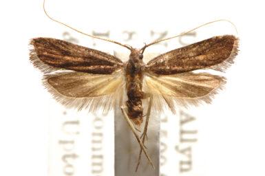 Sarisophora nyctiphylax