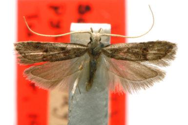 Sarisophora pycnospila