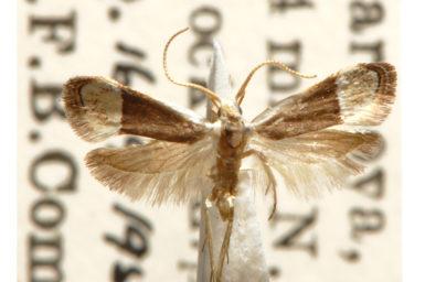 Sarisophora tenella