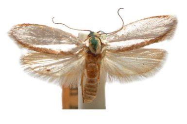 Scieropepla megadelpha