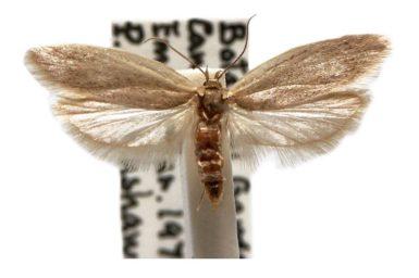 Scieropepla typhicola