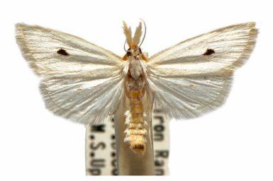 Scirpophaga melanostigmus