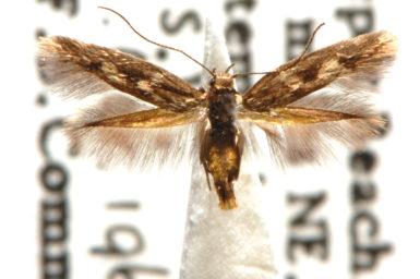 Scythris leucochyta