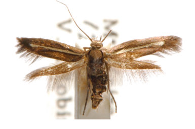 Scythris pleonectis