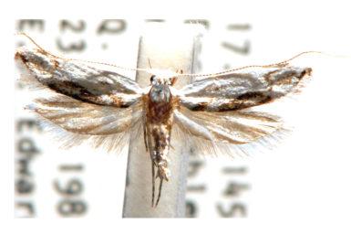 Sphenograptis celetica