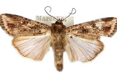 Spodoptera exempta_pest