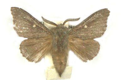 Symphyta colpodes