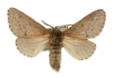 Symphyta nephelodes