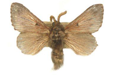 Symphyta nyctopis