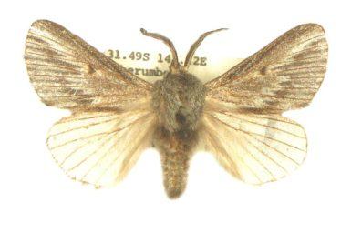 Symphyta oxygramma
