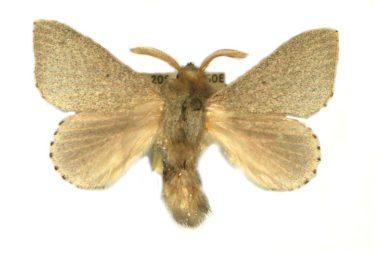 Symphyta psaropis