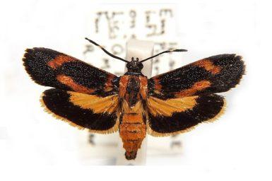 Synechodes coniophora
