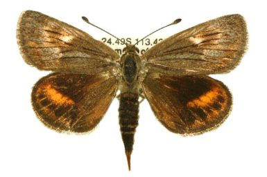 Synemon austera