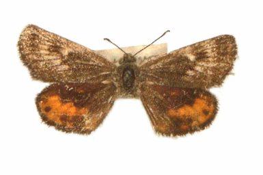Synemon brontias
