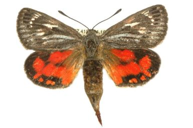 Synemon catocaloides