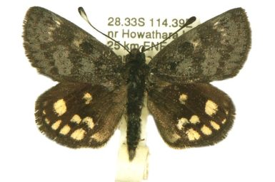 Synemon leucospila