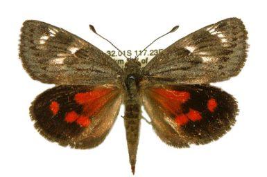 Synemon nupta