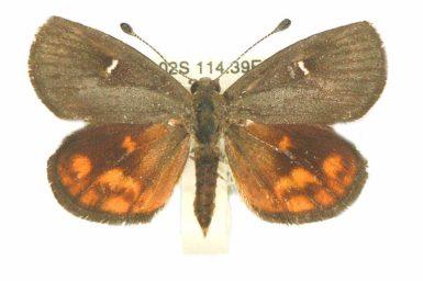 Synemon obscurella