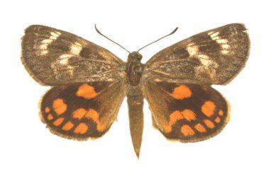 Synemon parthenoides