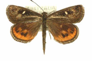 Synemon phaeoptila
