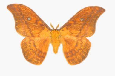 Syntherata leonae