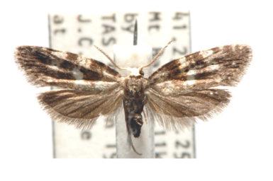Tanaoctena pygmaeodes