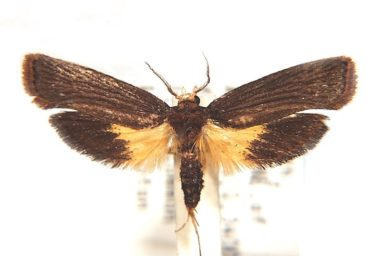 Tanymecica xanthoplaca