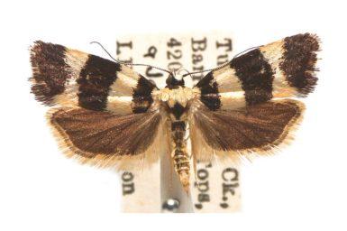 Telecrates melanochrysa