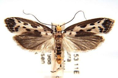 Thyridectis psephonoma