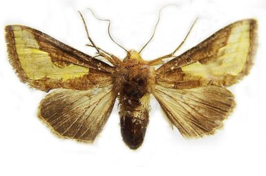 Thysanoplusia orichalcea_pest