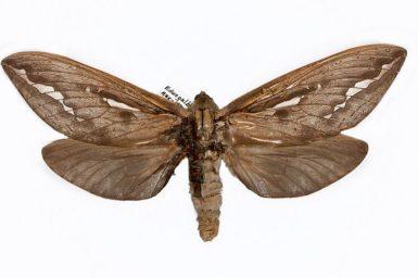 Trictena argyrosticha