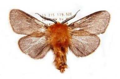 Unplacedtogenus xanthochrysa