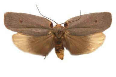 Uzucha humeralis