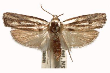Xylorycta austera