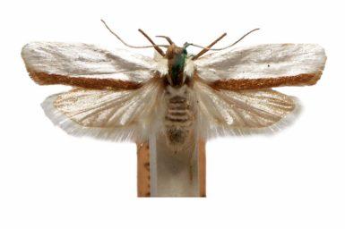 Xylorycta candescens