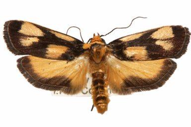 Xylorycta heliomacula