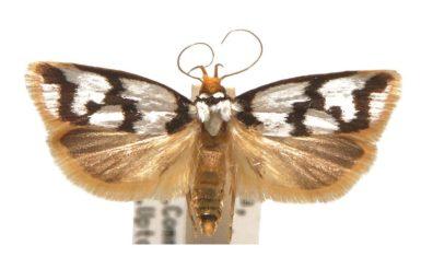 Xylorycta ophiogramma