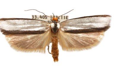 Xylorycta perflua