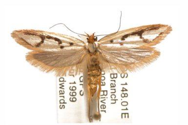 Xylorycta sigmophora