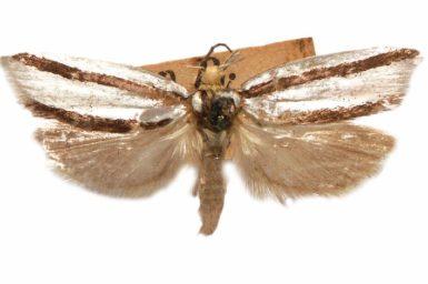 Xylorycta stereodesma
