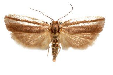 Xylorycta strigata