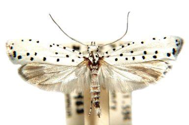 Yponomeuta myriosema