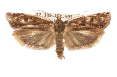 Zauclophora procellosa